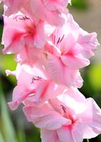 Cotton Candy Gladiolus
