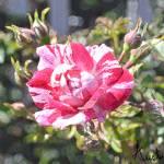 """Peppermint Rose"" by austinsloan"