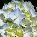 """Pastel Blue Yellow White Hydrangea Flower Petals"" by BasleeTroutman"