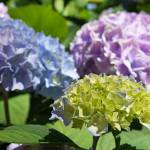 """Garden Photography Blue Lavender Green Hydrangeas"" by BasleeTroutman"