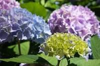 Garden Photography Blue Lavender Green Hydrangeas