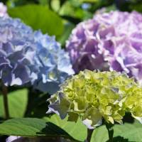 Garden Photography Blue Lavender Green Hydrangeas Art Prints & Posters by Baslee Troutman Fine Art Prints