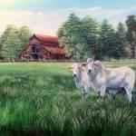 Okeechobee  Red Barn Brahma Bulls