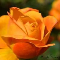 Orange Rose Art Prints & Posters by Austin Sloan