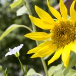 """""""Sunflower"""" by Fraenks"""