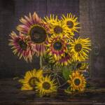 """Old Sunflowers"" by fielding"
