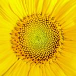 """sunflower_macro"" by fielding"