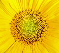 sunflower_macro