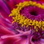 """""""Hot Pink Zinnia Flower"""" by SoulfulPhotos"""