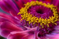 Hot Pink Zinnia Flower