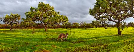 Green Grass & Kangaroo