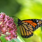 """Monarch Butterfly on Milkweed Flower"" by sterk"