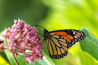 Monarch Butterfly on Milkweed Flower
