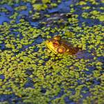 Frog in Duckweed Pond