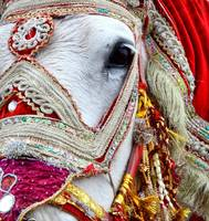 Decorated White Horse Indian Wedding