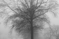 Bare winter trees in fog