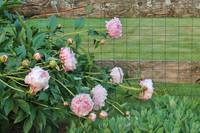 Pink Peonies Wooden Fence