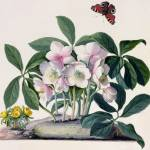 """Christmas Rose (Helleborus niger) and Winter Aconi"" by fineartmasters"