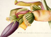 Flower of the Banana Tree (Musa candice maculato f