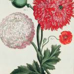 """Papaver somniferum and Papaver rheas"" by fineartmasters"