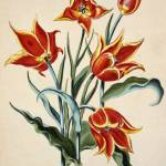 """Orange Tulip, from"