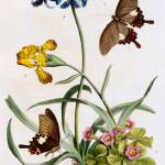 """Polianthes, Oxalis and Iris, 1749 (hand-coloured e"" by fineartmasters"