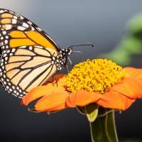 Monarch Butterfly Art Prints & Posters by John Corney