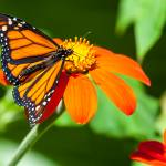 """Monarch Butterfly"" by johncorney"