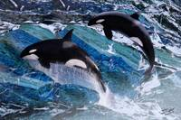 Wild Orca Whales of Florida