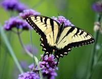 Eastern Tiger Swallowtail Butterfly 2014