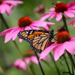 """Monarch On Purple Coneflower"" by KsWorldArt"