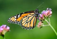 Monarch Butterfly on Verbena Flower 2014