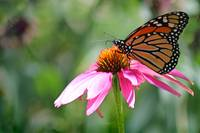 Monarch And Purple Coneflower