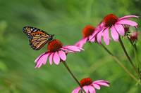 Monarch Balancing On Purple Coneflower