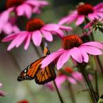 """Monarch Butterfly on Purple Coneflowers"" by KsWorldArt"
