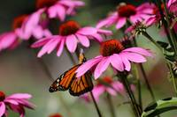 Monarch Butterfly on Purple Coneflowers