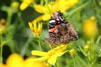 Red Admiral Butterfly in Summer
