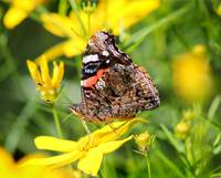 Red Admiral Butterfly on Yellow Coreopsis