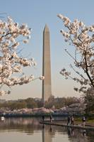 The Washington Monument Cherry Blossoms