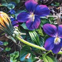 Dandelion with Violets Art Prints & Posters by Kelly Eddington