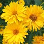 """Heliopsis helianthoides ""Sunstruck"""" by shelleyinmichigan"