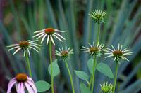 Coneflowers in Garden