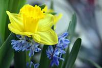 Daffodil Blues