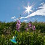 """""""Luminous Fireweed"""" by LUCILLE"""