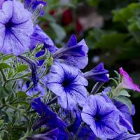 Summer Petunias Art Prints & Posters by Wilma Birdwell