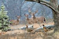 Whitetail Deer Art - First Snow