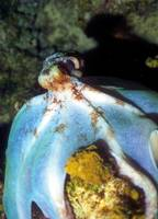Big Mantled Octopus