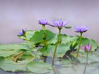 Water Lilies of Vietnam
