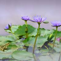 """Water Lilies of Vietnam"" by I.M. Spadecaller"