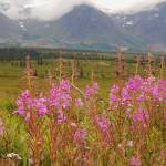 """Fireweed in Cantwell"" by StephanieBrower"